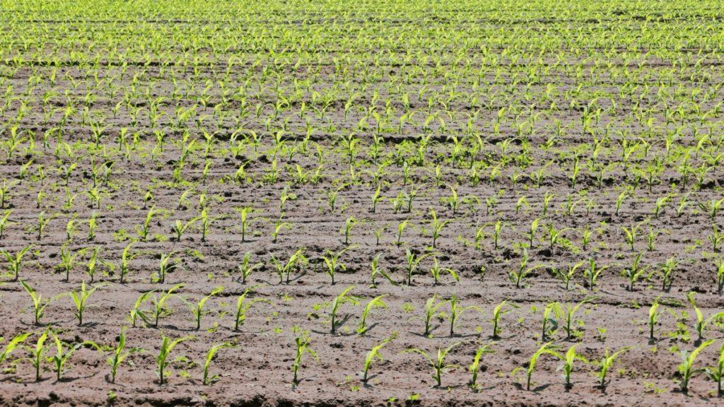 Bioestimulantes en el maíz: características y funciones