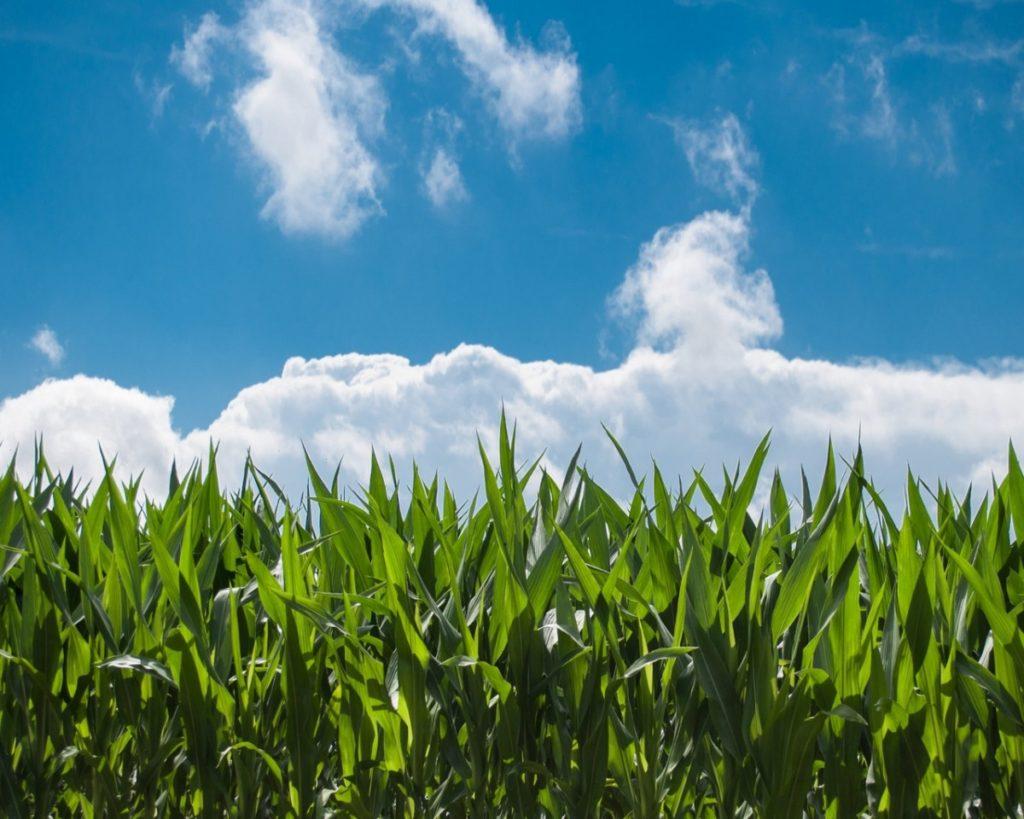 Los múltiples beneficios del cultivo de maíz en segunda cosecha