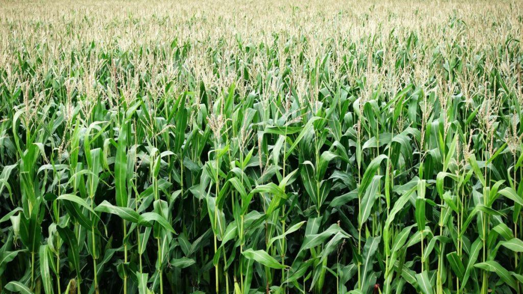 Todo lo que tienes que saber sobre los taladros, la plaga de insectos que afecta al maíz