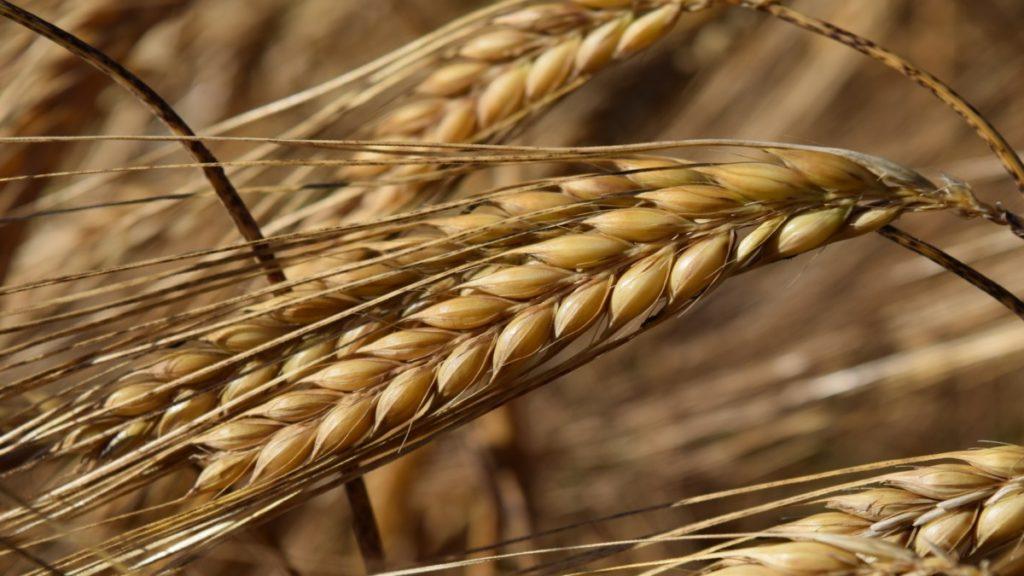 Un descubrimiento científico relacionado con el nivel de sodio en la cebada podría ayudar a mejorar el desarrollo y el rendimiento de este cereal