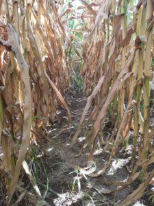 Todo lo que necesitas saber sobre la araña roja, una de las plagas más comunes en los cultivos de maíz