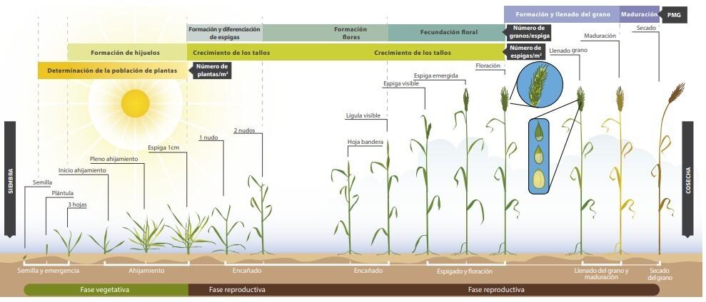 Todo lo que debes saber sobre el desarrollo del cereal