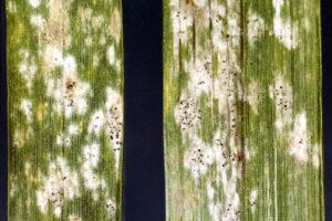 Análisis de las enfermedades en el cultivo de la cebada