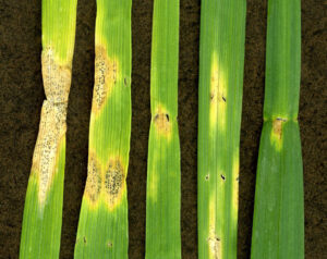 Las enfermedades en el cultivo del trigo