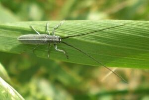 ¿Cuales son las plagas de insectos en el trigo y la cebada?