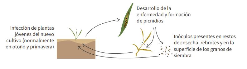 """""""Septoria"""", una enfermedad que afecta al cultivo del trigo"""