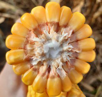 "Semilla de maíz ""Bowen"": Alta producción"